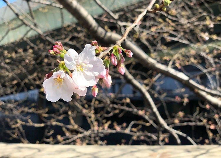 Tokyo 2019 Cherry Blossom Report