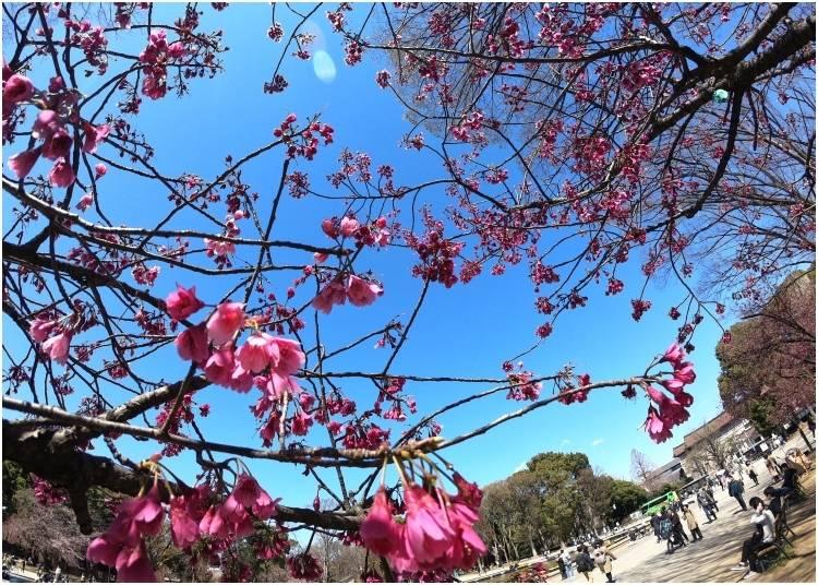 3. Ueno Park Cherry Blossom Festival
