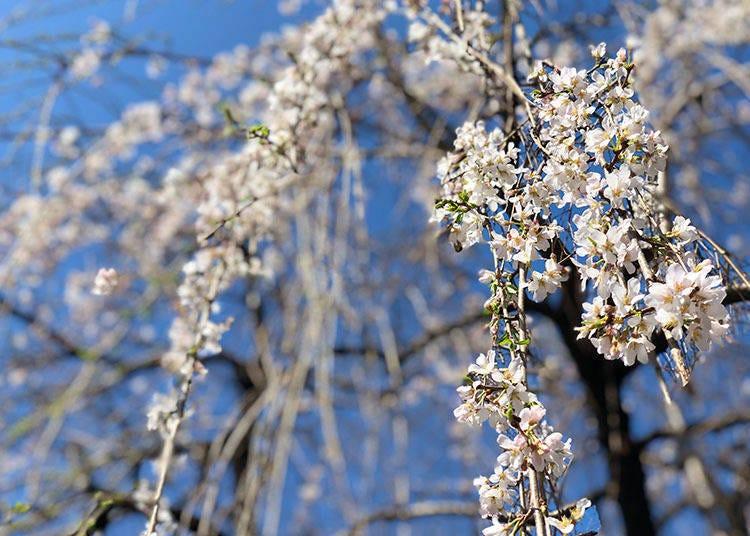 도쿄 2019 벚꽃 리포트 (업데이트 : 3 월 24 일)