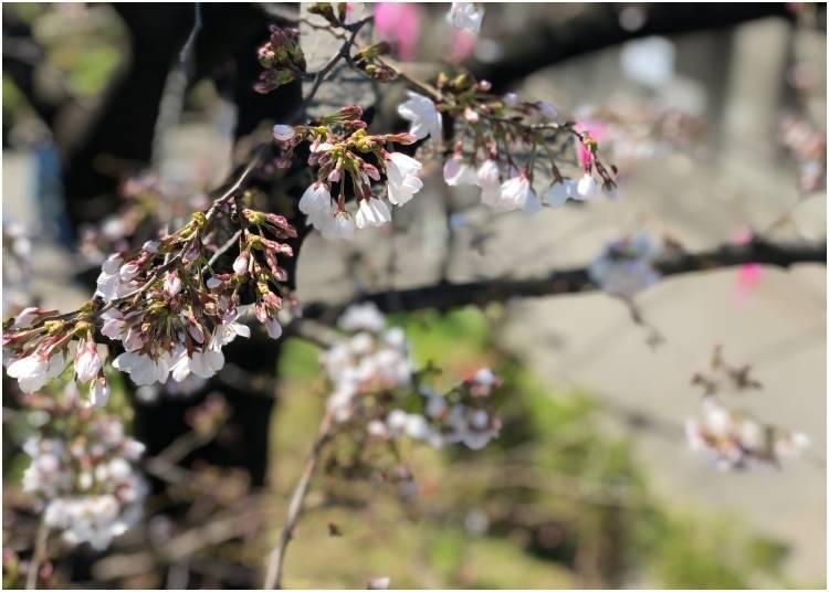 5. 스미다 공원 벚꽃