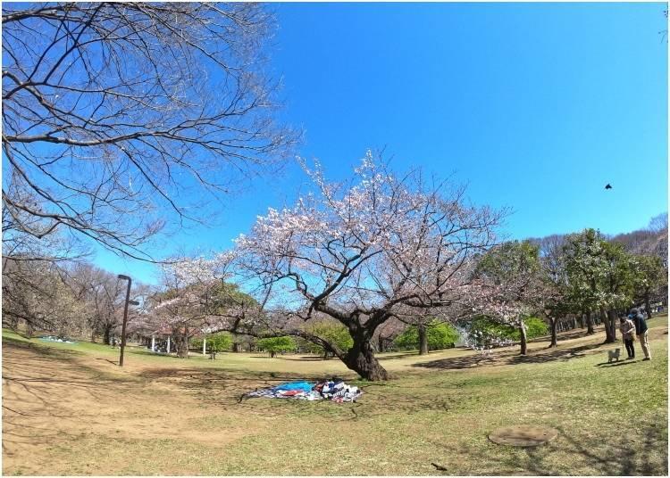 2. 요요 기 공원 (Yoyogi Park) : 일본에서 자신만의 벚꽃 피크닉을!