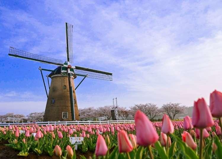 Tulips and Sakura in a Place Called Sakura... Why You'll Love the Sakura Tulip Festa Spring 2020