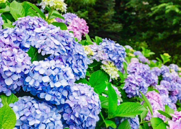 【夏】夏季是欣賞色彩鮮艷的繡球花及荷花的最佳時期!