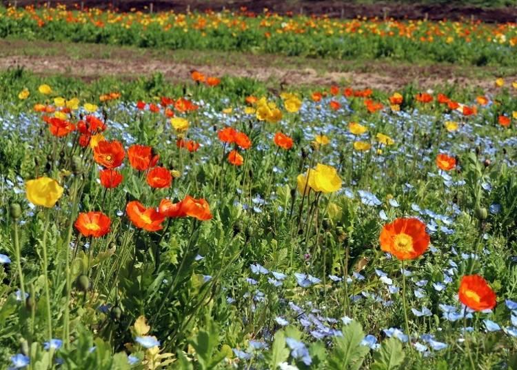Lots of seasonal flowers! Poppy and Cosmos Gardens
