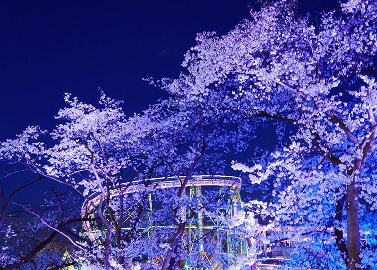 2. Jewellumination – Nighttime cherry blossoms like never before