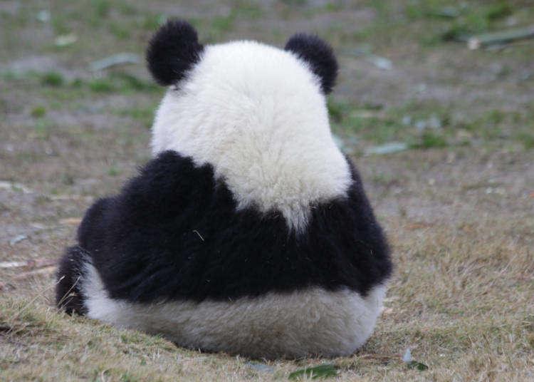 일본에서 동물원의 판다는 절대적인 존재?