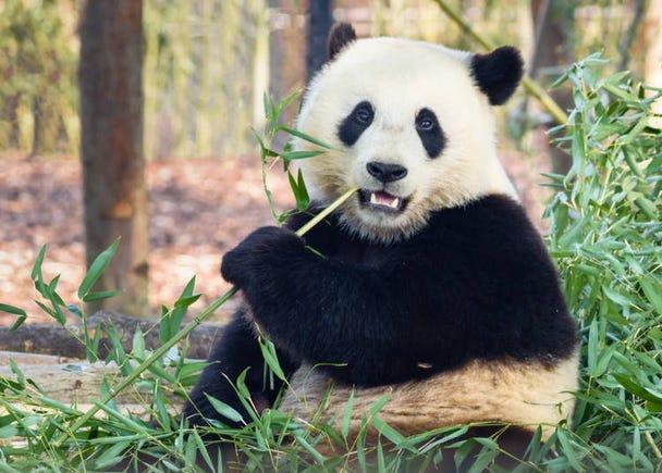 【同場加映】今泉先生像我們說明貓熊的「殘念的生態」