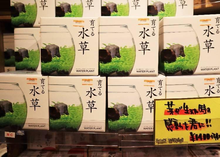 店長さんおススメ③「育てる水草セット」(税別1,400円)