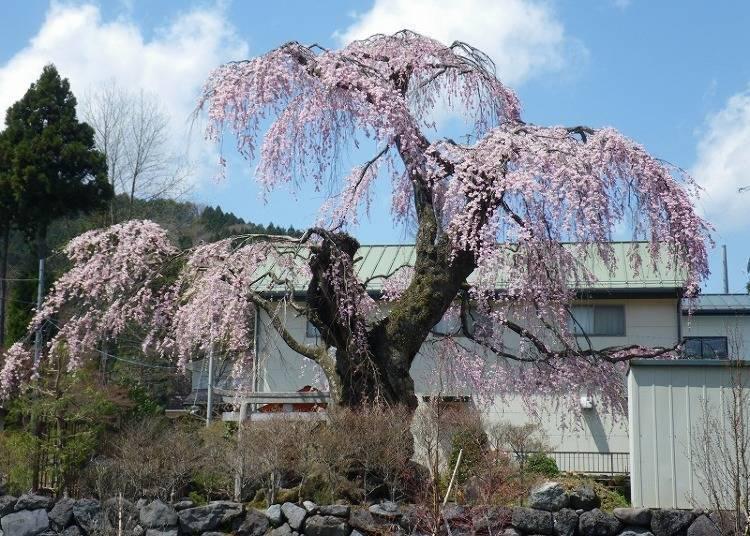 봄에는 역사를 느끼면서 꽃놀이를 할 수 있는 '몬젠마치'로.