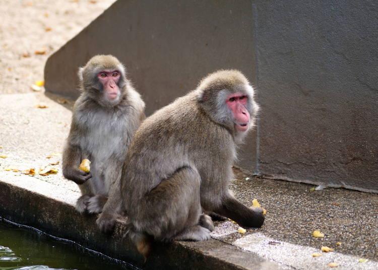 可用NIKKO PASS的景點推薦⑦猴山<鬼怒川溫泉區>
