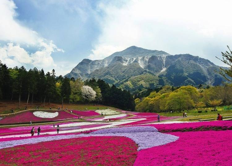 Spring: The Colorful Moss Phlox in The Beautiful Hitsujiyama Park