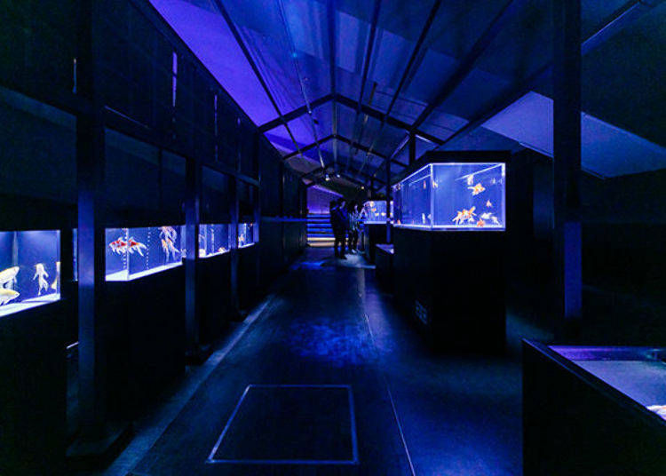 The beauty of Japan! Study the Roots of Goldfish at the Edorium