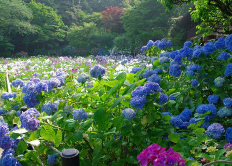 Visit Chiba S Hondoji Temple Stunning Japanese Gardens Filled With 50 000 Hydrangeas Will Fill You With Joy Live Japan Travel Guide
