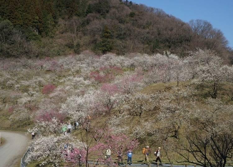 """【ฤดูใบไม้ผลิ】""""ป่าต้นบ๊วยโคเกซาวะ"""" ที่แต่งแต้มภูเขาทั้งลูกด้วยสีแดงตัดกับสีขาว"""