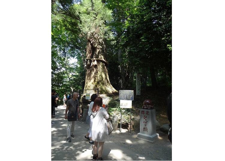 【夏】保佑开运的能量景点「章鱼杉」