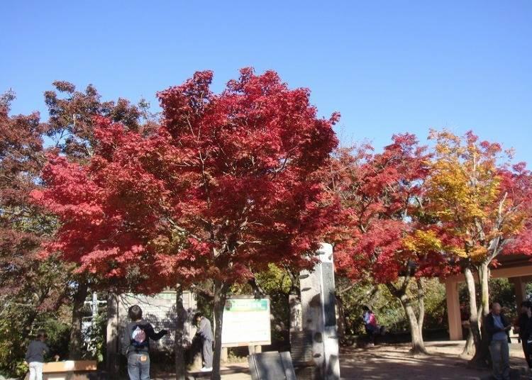 【秋】鲜艳枫红妆点山头「红叶」