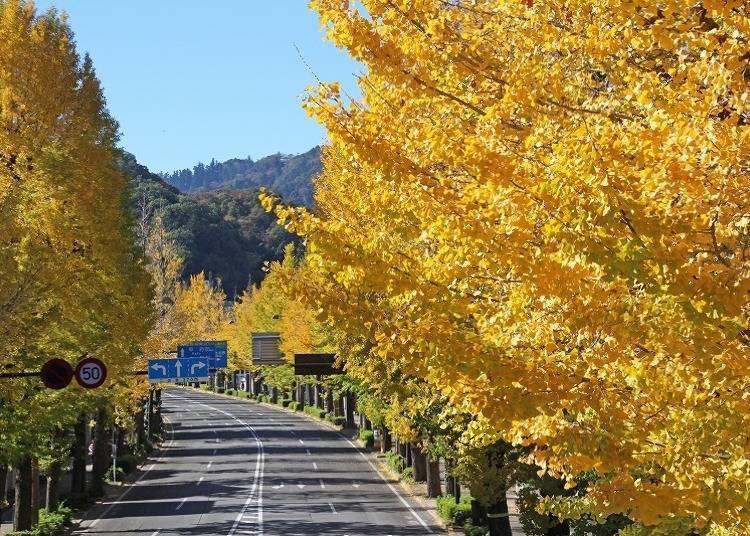 하치오지시의 가을이 온몸으로 느껴지는 '하치오지 은행나무 축제'