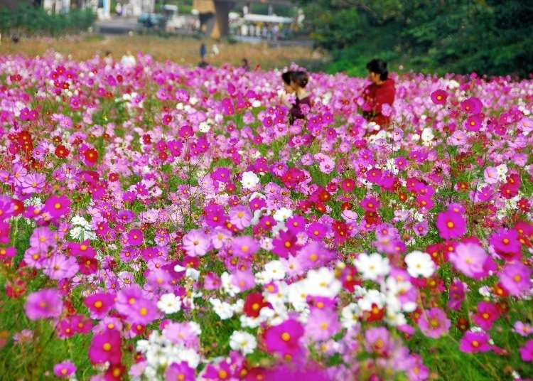 Day Trip from Tokyo: See the Field of a Million Flowers at the Cosmos Festival 2019 - LIVE JAPAN