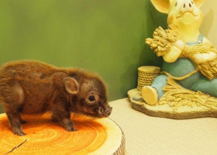 Mipig Harajuku: We visit the new micro pig cafe in Tokyo