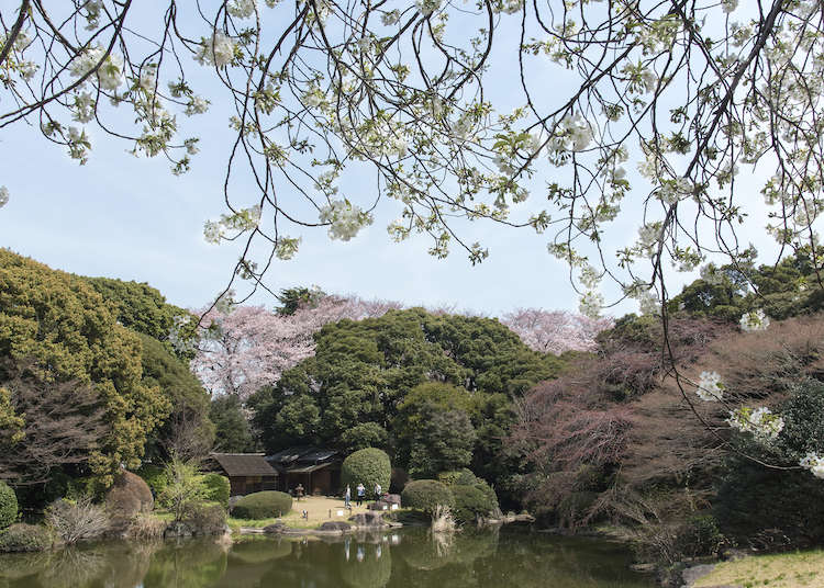 Cherry Blossom Viewing at the Tokyo National Museum: Both in Galleries and the Garden (From Representations to the Real Deal)