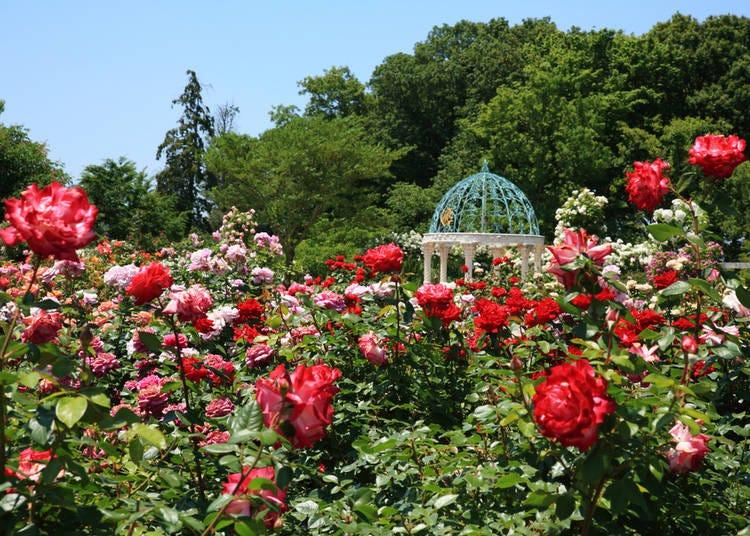 2. Keisei Rose Garden, Chiba