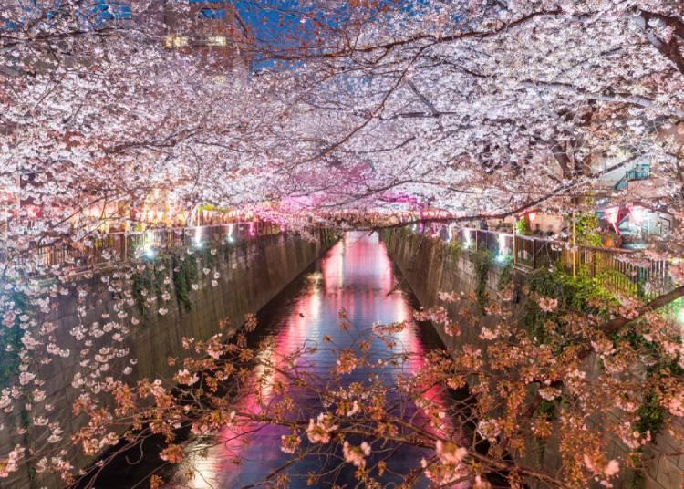 SNS 인증샷 바로 여기! 도쿄 메구로카와 야간 벚꽃놀이
