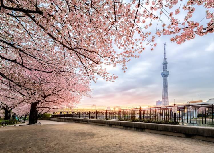 도심 속 벚꽃 낭만, 도쿄 스미다 공원