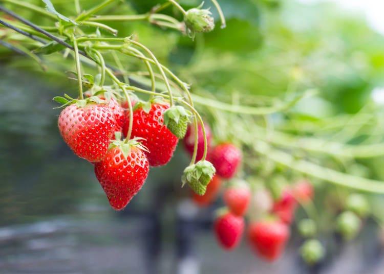 日本旅遊必吃水果①草莓