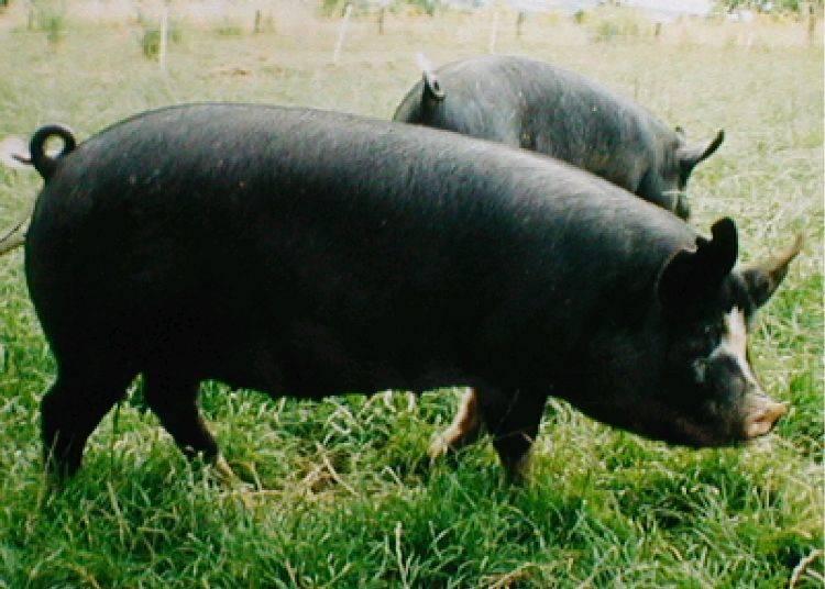 ■彩の国黒豚