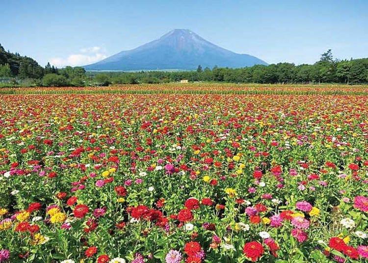 4. Yamanakako Hananomiyako Park: Mt. Fuji surrounded by seasonal flowers