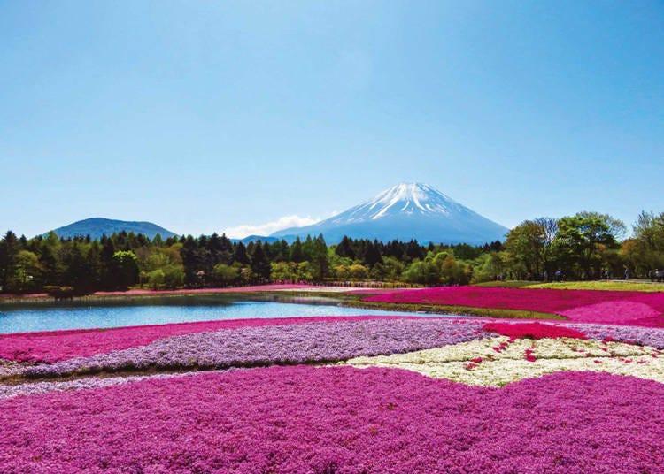 富士五湖地區觀光景點3. 首都圏最大規模的富士山芝櫻「富士本栖湖渡假村」