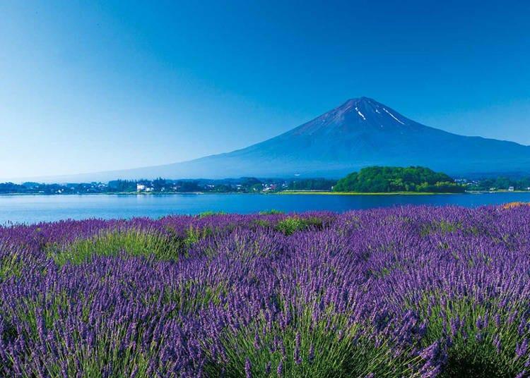 富士五湖地區觀光景點2. 河口湖花卉為富士山妝點色彩「大石公園」