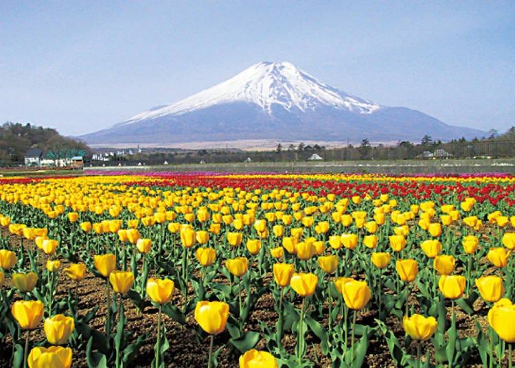 富士山周邊觀光景點2. 四季擁有不同繁花美景的「山中湖 花之都公園」