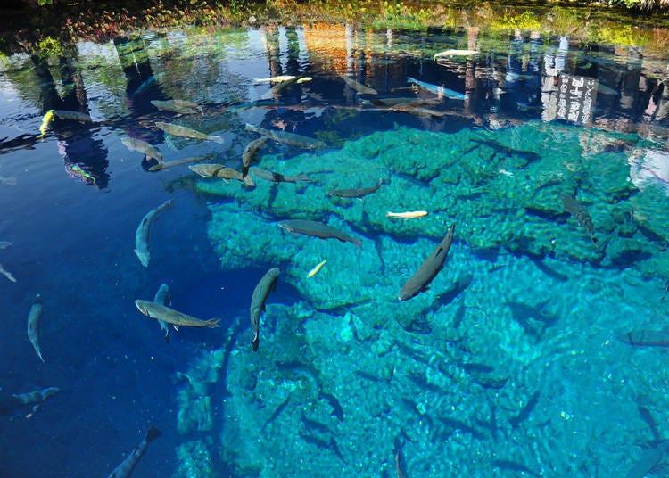 일본 굴지의 물의 고장 '오시노핫카이'에서 연못 감상