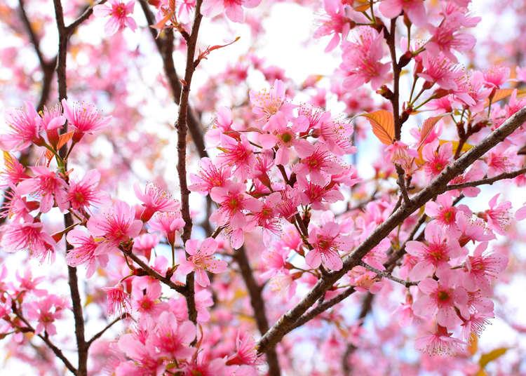 【2020年最新版】桜の開花情報。花見のベストタイミングはいつ?