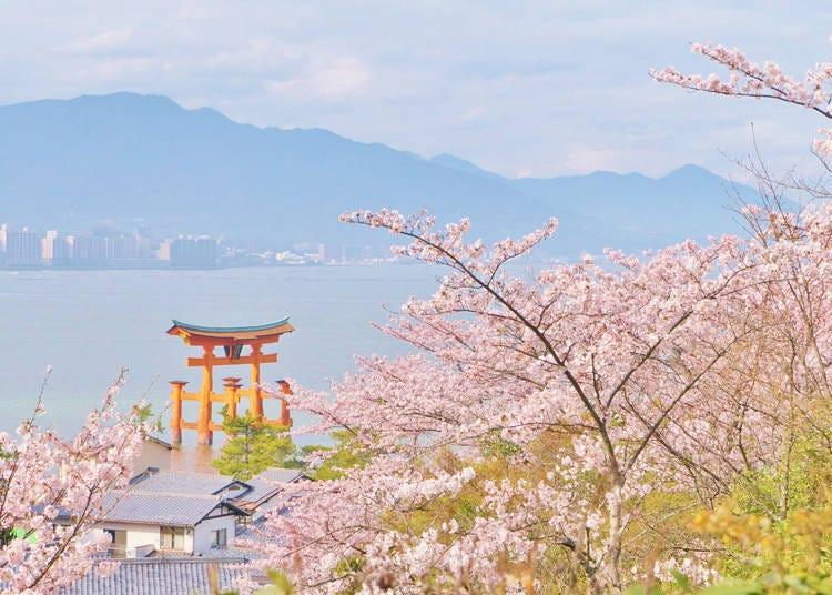 西日本の開花時期は、平年並みか平年より早い