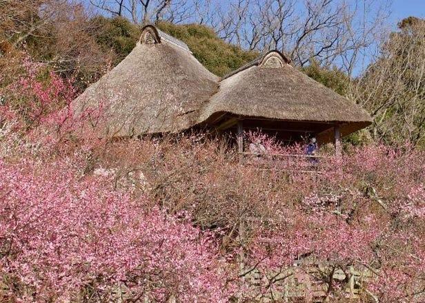 Japan's Gorgeous 'Early Sakura' Plum Blossoms! Trip to Tsukuba Bairin 2020