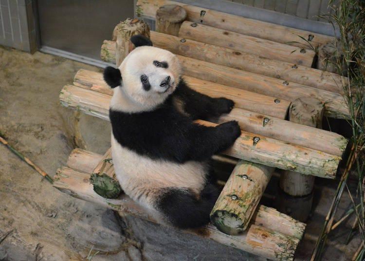 一起到「上野动物园」采买可爱的熊猫商品啰~