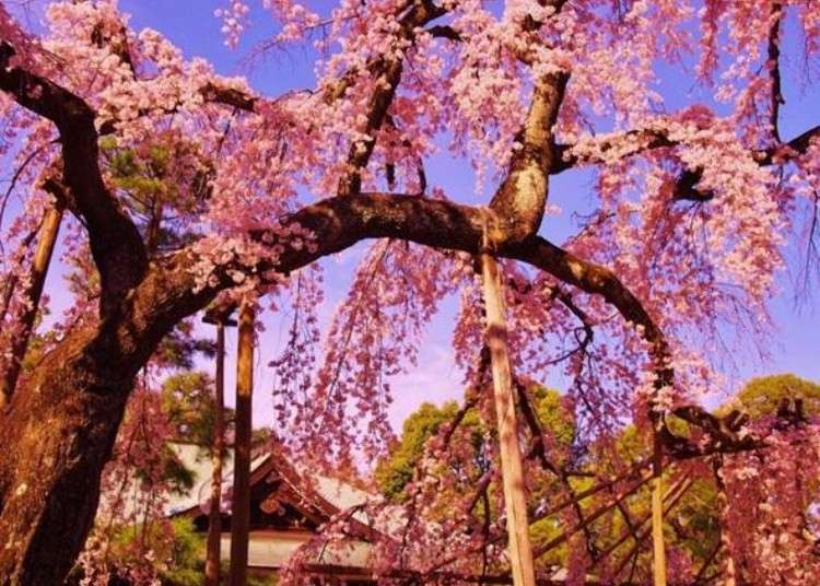 In Full Bloom! A Cherry Blossom Paradise in Matsudo