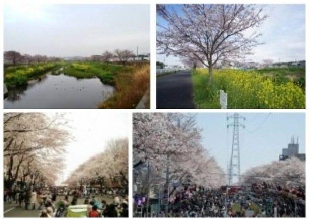 4. Kokubu River Sakura Area & Mutsumi Sakura Area