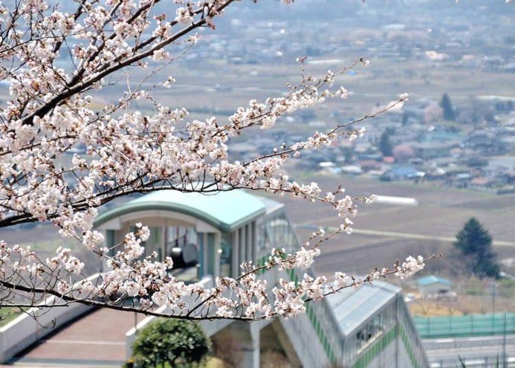 日本中部樱花景点①徜徉在樱花森林浴之中-「平尾山公园」