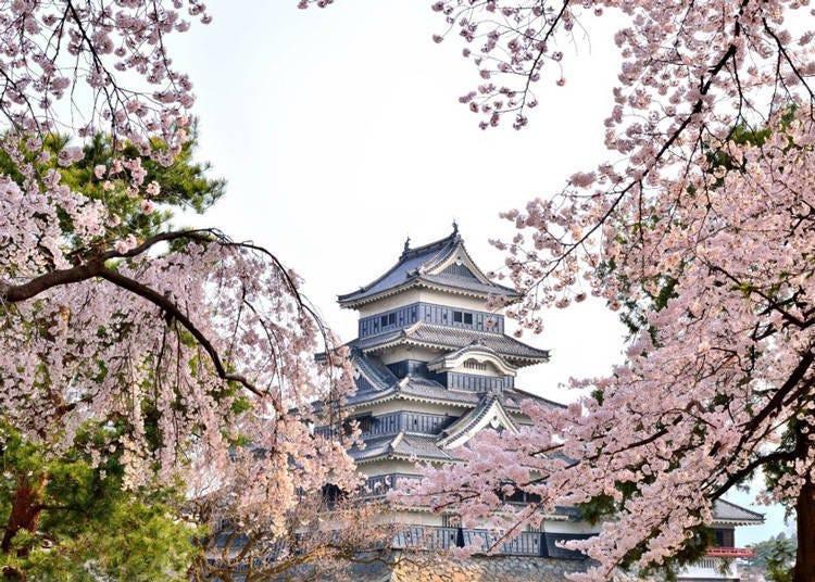 日本中部樱花景点③在夜樱衬托下更显巍丽的国宝城郭-「松本城」