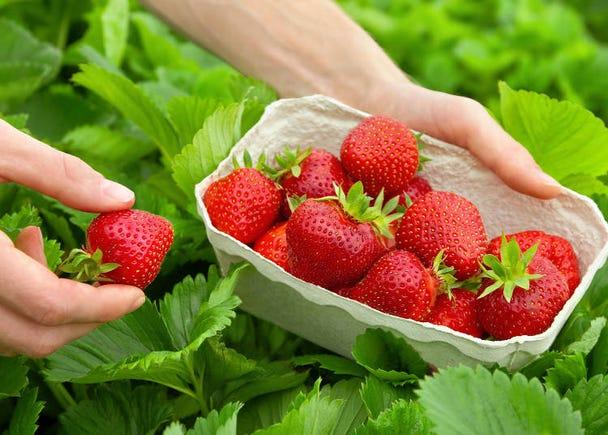 同じフルーツを食べ続けられるフルーツ狩り。日本人は飽きないの!?