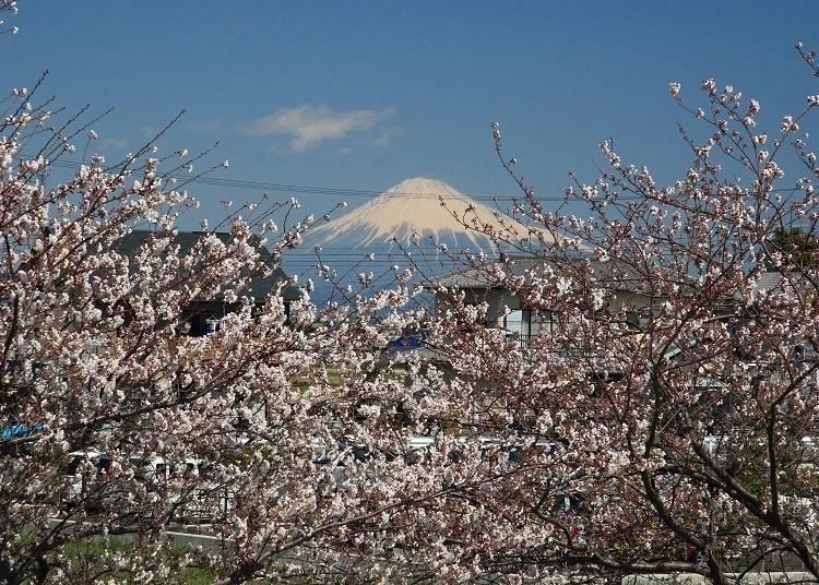 ①【富士山×桜】栃山川堤富士見さくらなど桜巡りのサイクリング