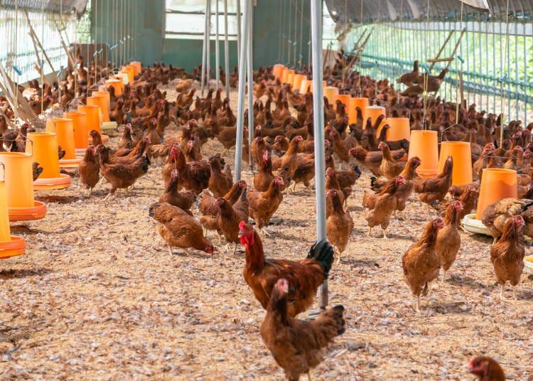日本の「地鶏」とは