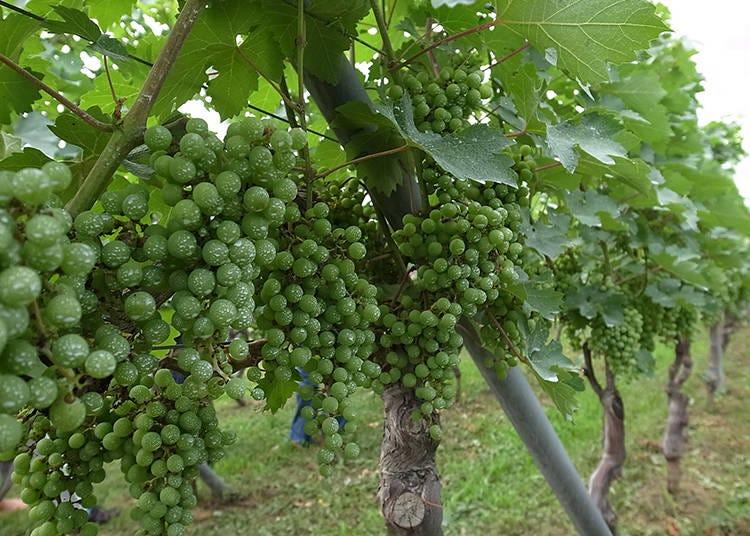 3. 日本ワインの主な産地(山梨・長野・新潟・山形・北海道)と日本固有の主要ぶどう品種