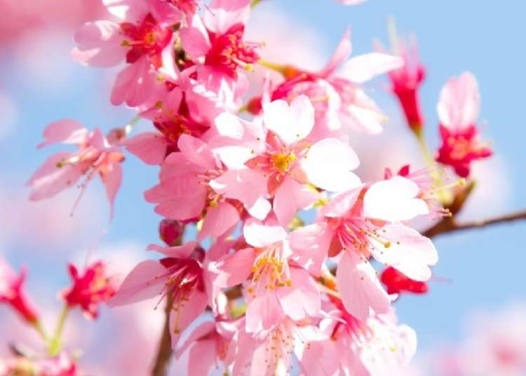 Japan has springtime sakura Cinnabons? Sign us up! | LIVE JAPAN travel guide