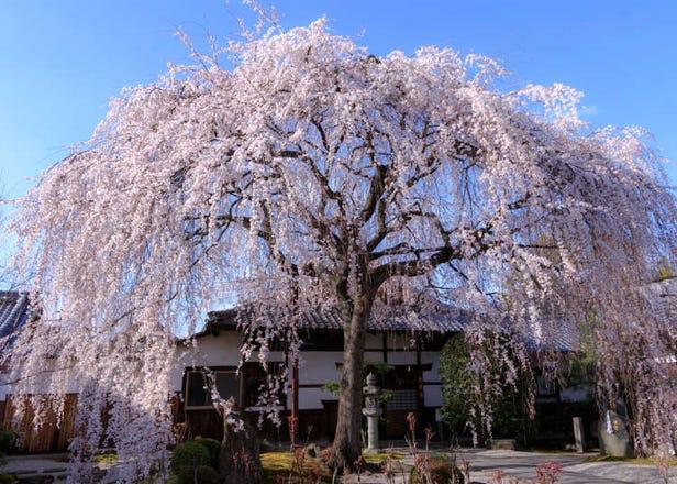 柳樹般搖曳生姿的粉嫩櫻雨「枝垂櫻」介紹Q&A+日本賞櫻景點5選