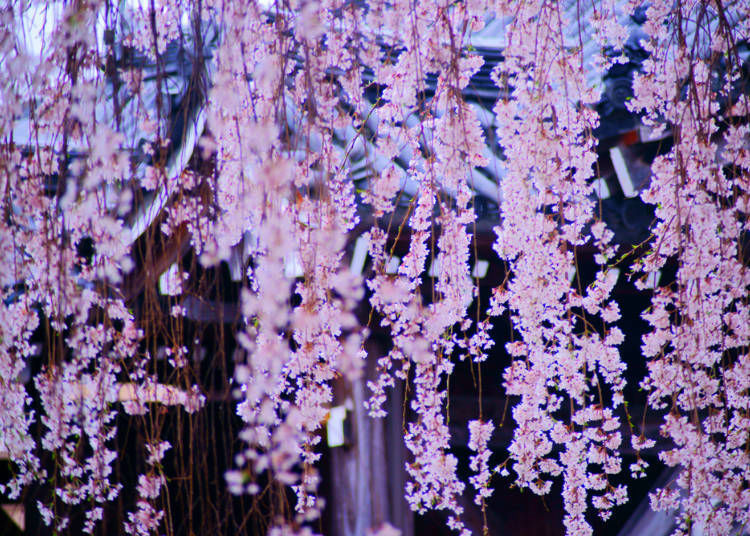 1. What are the Characteristics of Weeping Cherry Blossom Trees?