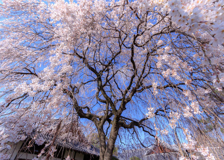 3. Types of Weeping Cherry Blossom Trees